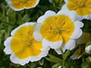 Limnanthes douglasii, poached egg flower, garden plant ideas