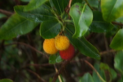 Strawberry tree fruit, ideas for winter interest